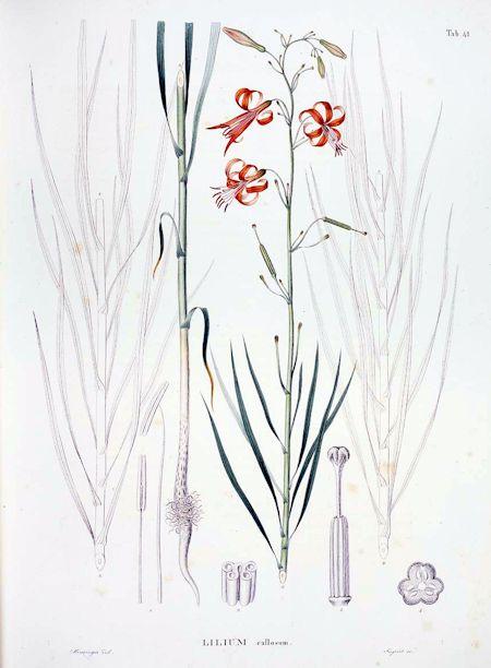Lilium callosum Siebold & Zucc.