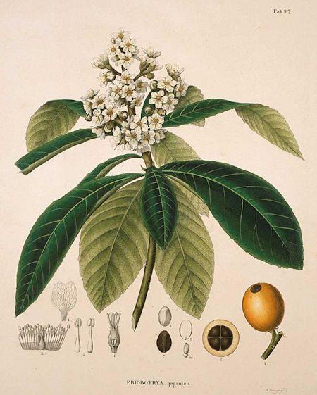 Eriobotrya japonica (Thumb.) Lindl.