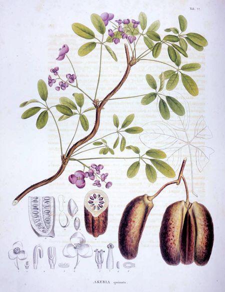 Akebia quinara (Thunb.) Decne