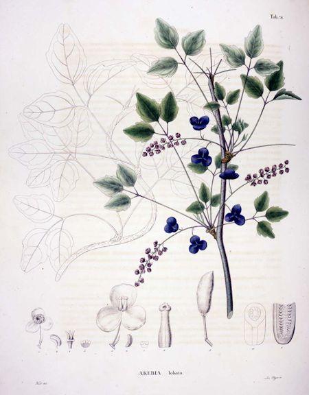 Akebia trifoliate (Thunb.) Koidz.