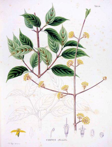 Cornus officinalis Sieb et Zucc