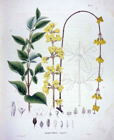 Forsythia suspensa (Thunb.) Vahl. 